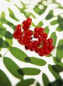 Rowan berries with leaves