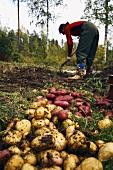 Frau bei der Kartoffelernte (Schweden)