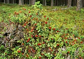 Lingonberry plants in a forest