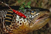 Freshly caught trout on fish hook