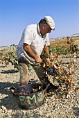 Worker picking grapes (Spain)