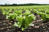 Lettuce plants in the field