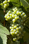 Antao Vaz grapes on the vine