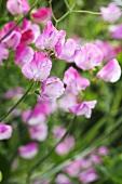 Pink sweet peas (lathyrus)