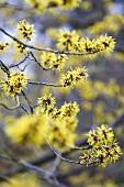 Witch hazel flowers on a branch