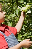Little boy reaching for apples on branch