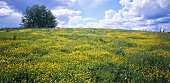Meadow with buttercups