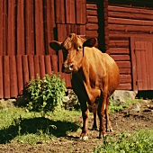 Brown cow in front of byre