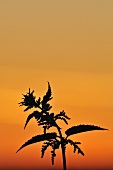 Silhouette of a nettle against red evening sky