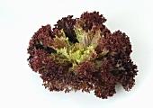 A Lollo Rosso lettuce