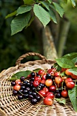 Various types of cherries with leaves in basket