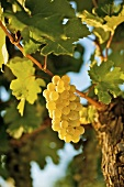 Ripe white wine grapes on vine ((Grüner Veltliner, Lower Austria)