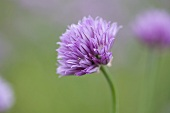 Chive flower (outdoors)