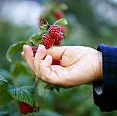Hand reaching for raspberries on branch