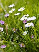 Daisies in grass (detail)