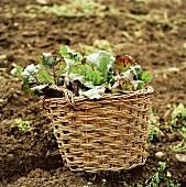 Beetroot in basket in field