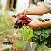Hands washing beetroot under running water in front of house