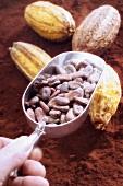 Hand holding scoop of cocoa beans, cocoa pods, cocoa
