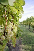 White wine grapes in vineyard in Germany
