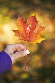 Woman's hand holding a maple leaf with autumn tints