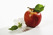 Red apple with stalk and leaf, apple blossom beside it