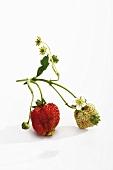 Erdbeeren (reif und unreif) mit Blüten