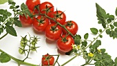 Rotating tomato plant and tomatoes