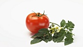 Rotating tomato and stem with leaves and flowers