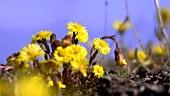 Blühender Huflattich