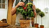Mann kostet eine Tomate von der Pflanze