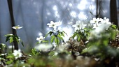 Wood anemones (Anemone nemorosa) by lake