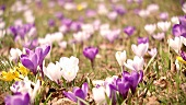 Crocuses in the open air