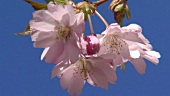 Cherry blossom (close-up)