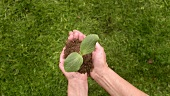 Hands holding young plant in compost