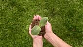 Hände halten Pflänzchen mit Erde