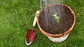 Pflänzchen in einen Topf setzen und gießen