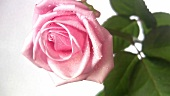 A pink rose with drops of water (close-up)