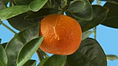 A mandarin orange with a drop on the tree