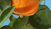 Eine Mandarine mit Tropfen am Baum