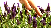 Hand brushing against flowering lavender