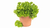Parsley in plant pot