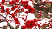 Red winter berries covered in snow