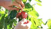 A red plum being picked
