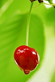 Cherry on tree, close-up