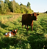 Cow and calf in pasture