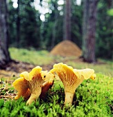Chanterelles in forest