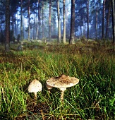 Parasol mushrooms in forest