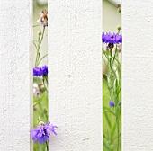 Cornflowers behind garden fence