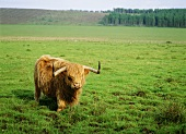 Highland cow in pasture (Scotland)