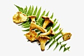 Chanterelles on a fern frond